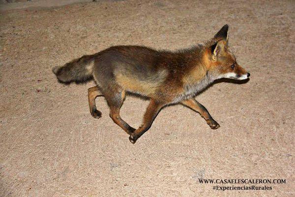 el zorro que visita a los huéspedes de casa el escalerón