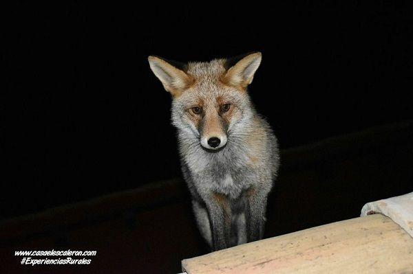el zorro casper visitando a nuestros huéspedes