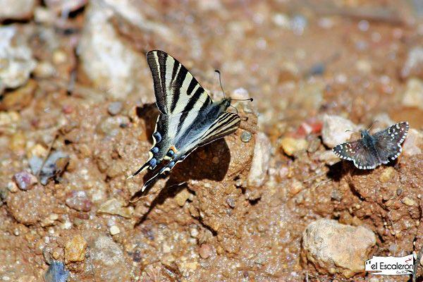 Mariposa en la Serranía de Cuenca