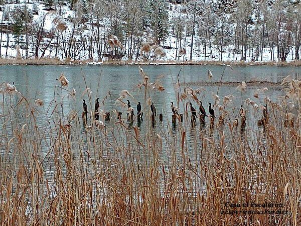 Cormoranes en la Laguna de Uña